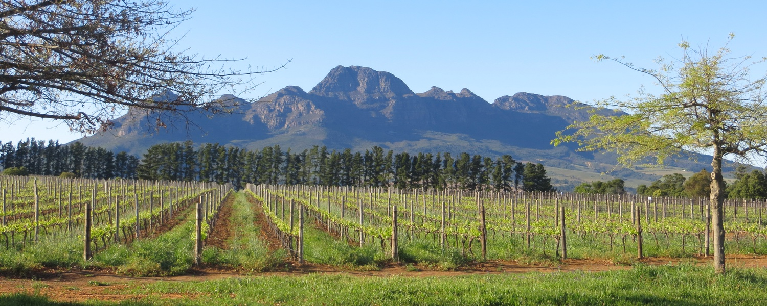 Stellenbosch is surrounded by mountains and vineyards